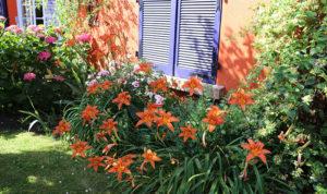 Fleurs de jardin en bordure de maison avec des volets violets